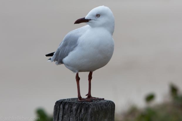 Mr seagull..