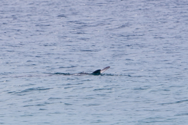 A dugong.